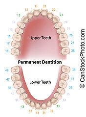 dentaire, permanent, notation, dents