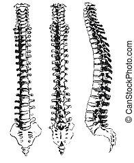 dessiné, segments, main, spinal