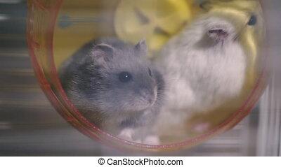 deux, wheel., courant, hamsters, hamsters., séance