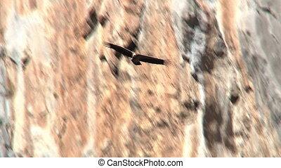 devant, vautour, vol, falaise