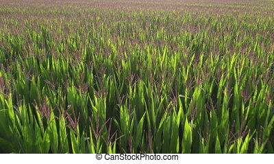 devenir, agrafe, coup, mondiale, beaucoup, bas, pousse feuilles, champ, parties, résolution, grand, altitude, 4k, surpassing, ou, qualité, sur, maïs, aérien, blé, projection, a, production, élevé, bourdon, vert, total, maïs, nourriture, riz