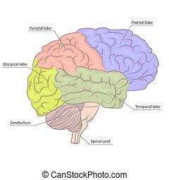 diagram., coloré, orgue, parties, anatomie, cerveau, vecteur, humain, vue., côté, design.