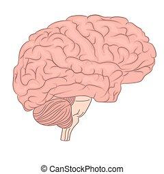 diagram., orgue, coloré, anatomie, cerveau, vecteur, humain, vue., côté, design.