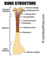 diagramme, anatomie, os humain