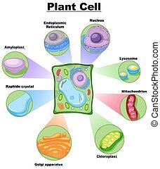 diagramme, cellule, projection, plante