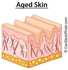 diagramme, fin, vieilli, haut, peau