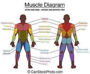 diagramme, homme, corps, muscle, mâle, noms, noir