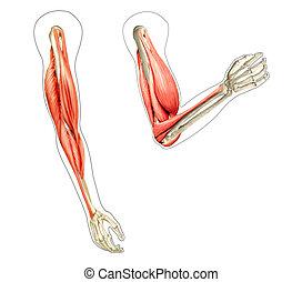 diagramme, muscles, d, illustration, projection, bras, anatomie, arrière-plan., quoique, 2, humain, numérique, os, blanc, flexing.