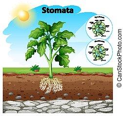 diagramme, stomata, projection, plante