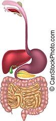 digestif, alimentaire, canal, région