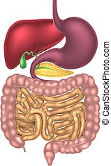 digestif, alimentaire, canal, système