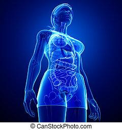 digestif, corps, système, femme, xray