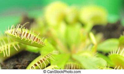 ), (, dionaea, plant., vénus, carnivore, muscipula, flytrap