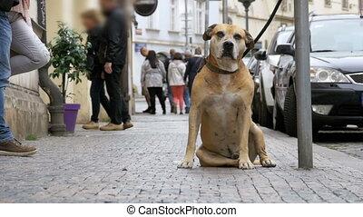dog., lent, fidèle, foule, gens, triste, attaché, mouvement, rue, passe, indifférent