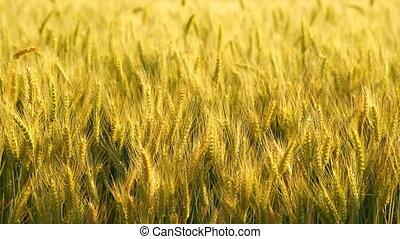 doré, plante, ferme blé, récolte, nourriture, agricole, agrafe