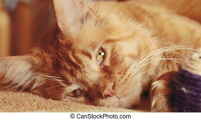 dormir, nègre, shag, maine, sofa., chat, rouges, maison, chat, gingembre, adulte