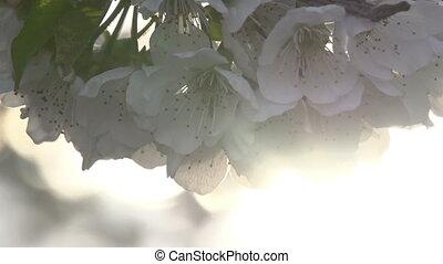 doux, fleurs, hd