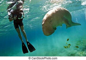 dugong, snorkeller