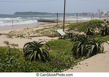 durban, fond, jetée, beachfront, aloes, dunes