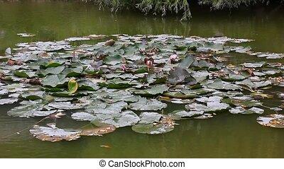 eau, feuilles, fleurs, lis