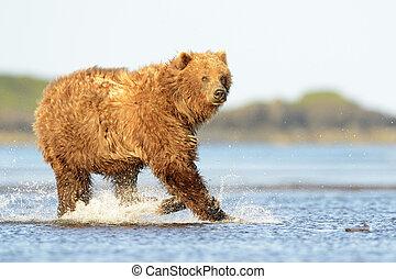 eau, grisonnant, saumon, courant, ours