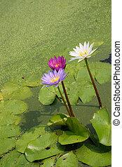 eau, ou, lys étang, fleurs, fleurs, fleurir, lotus
