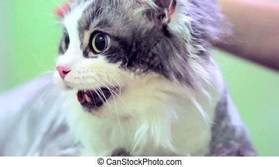 effrayé, chat gris, bouche, blanc, ouvert
