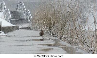 ekaterinburg., c'est, snowing., canard, duck., russie, vient