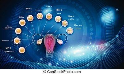 embryon, développement, blastocyst, ovulation, labourer
