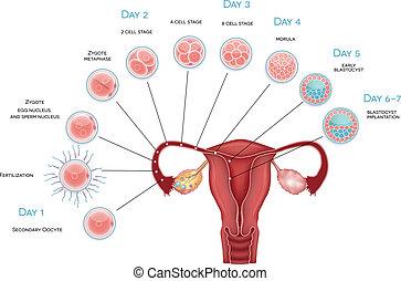 embryon, oocyte, blastocyst, development., fertilisation, ovulation, implantation., labourer, développement, secondaire