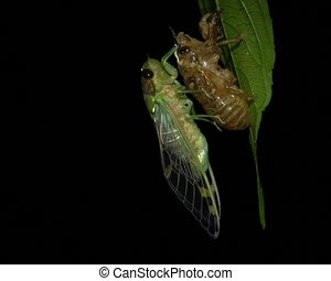 emerger, cigale, larval, s, adulte