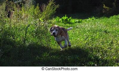 en mouvement, air., appareil photo, élevé, 4k, course, walk., mouche, beagle, mignon, résolution, après, long, espiègle, lent, qualité, animal, oreilles, jeûne, mouvement, prise vue., rabat, chiot, hâte, métrage, actif