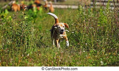 en mouvement, jouir de, appareil photo, chasse, élevé, 4k, chien, vert, course, beagle, résolution, long, lent, curieux, qualité, extérieur, herbeux, backyard., rigolote, jeune, oreilles, herbe, mouvement, prise vue., voler, jeux, métrage
