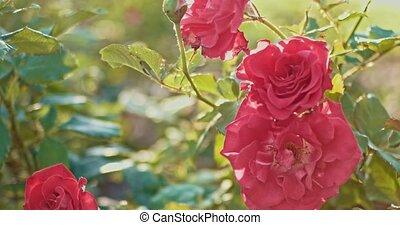 endommagé, jardin, rose, automne, fleurs, vent