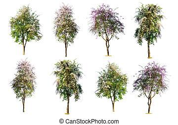 ensemble, ), (, arbre, isolé, speciosa, fond, lagerstroemia, blanc