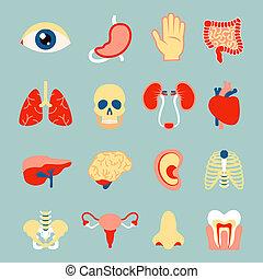 ensemble, organes, humain