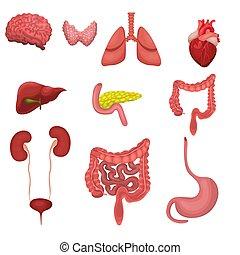 ensemble, organs., image, isolé, arrière-plan., vecteur, humain, blanc