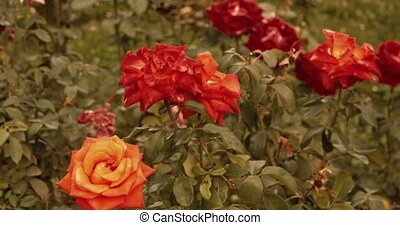 ensemble, rosegarden, ensoleillé, day., roses, fleurir, footages.