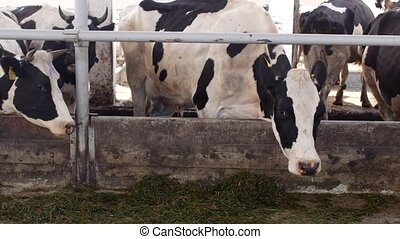 ensilage, ferme, farine, manger, vaches, stalle, stand, paysan, herbe, autoritaire