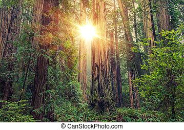 ensoleillé, forêt séquoia