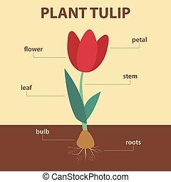 entier, plan, plante, projection, diagramme, education, -, vecteur, tige, feuille, infographic, agricole, parties, biologie, tulipe, racines, fleur, ampoule, système, étiquettes