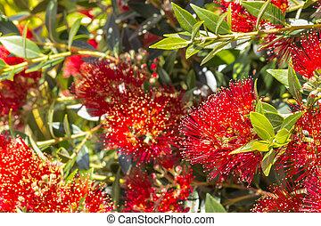 entiers, arbre, nouvelle zélande, fleurs, fleur, rouges, noël