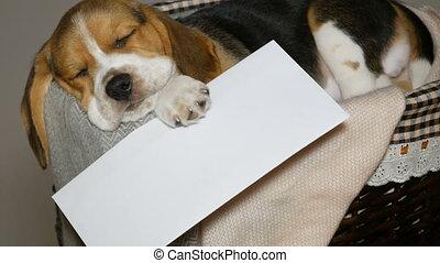 enveloppe, beagle, panier, blanc, chiot, chiens