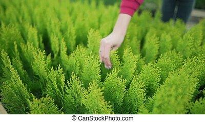 environnement, propriétaire, local, femme, -, dehors, plants., arborvitae., soucier, vert, petit, vente, business, prend, plant