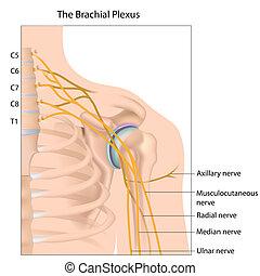 eps10, brachial, plexus