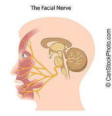 eps10, facial, nerf