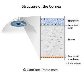 eps10, structure, humain, cornée