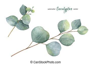 eucalyptus, vecteur, aquarelle, feuilles, peint, remettre ensemble, branches.