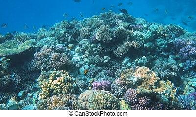 exotique, beau, coraux, poissons, coloré, sous-marin