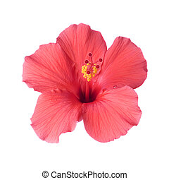 exotique, hibiscus